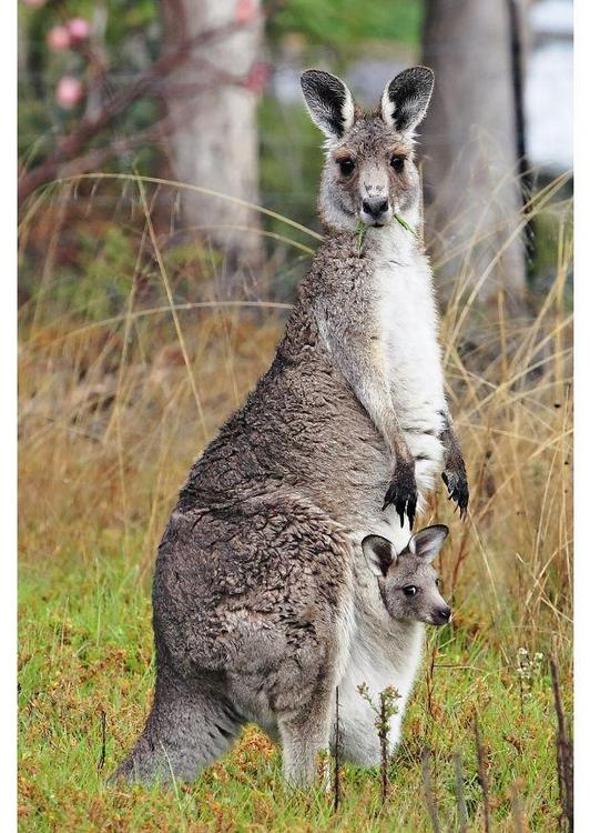 Mother-and-baby-kangaroo