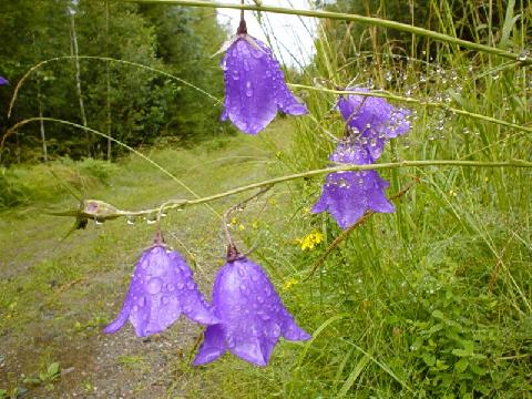 Purple-bells-1